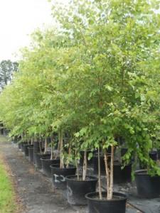 30 river birch