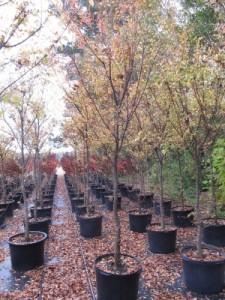dynasty elm 25 gal