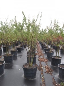 high cotton crape myrtle 25 gal