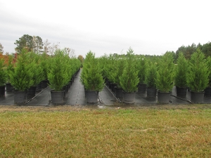 leyland cypress 15 gal