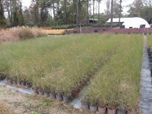 muhly grass 1 gal