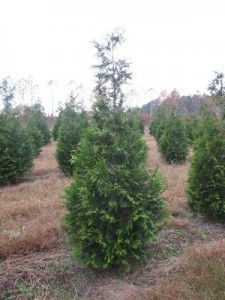 green giant arborvitae 8-10 ft