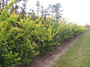 howardi ligustrum 5-6 ft