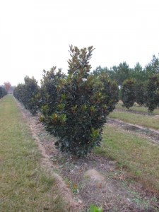 little gem magnolia 8-10 ft