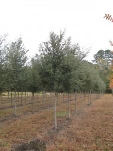 live oak 4 cal