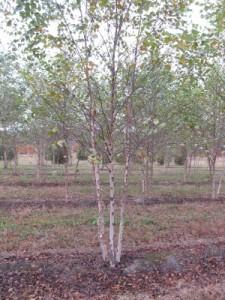 river birch 14-16 ft