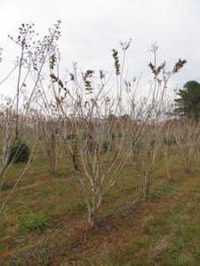 tuscarora crape myrtle bb 8-10 ft